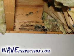 Carpenter ant damage. WAVE Home Inspector MA CT RI